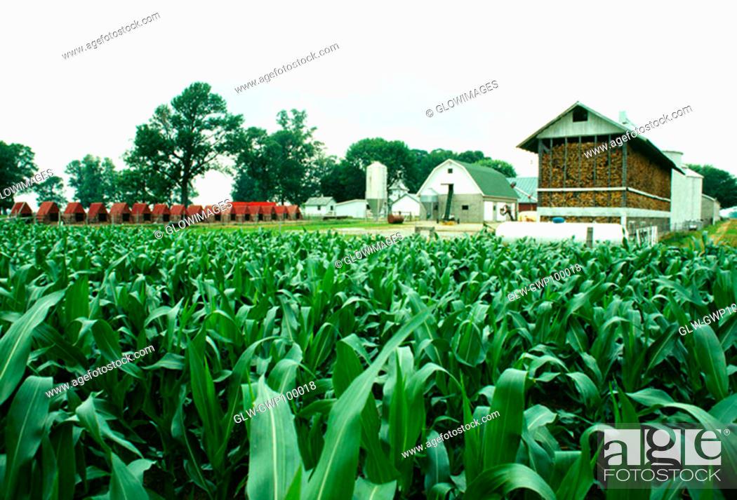 Photo de stock: Corn fields and farm buildings of Niel Henry, Clinton city, OH.