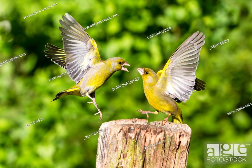 Stock Photo: Greenfinch Carduelis chloris, fighting in flight, Lower Saxony, Germany.