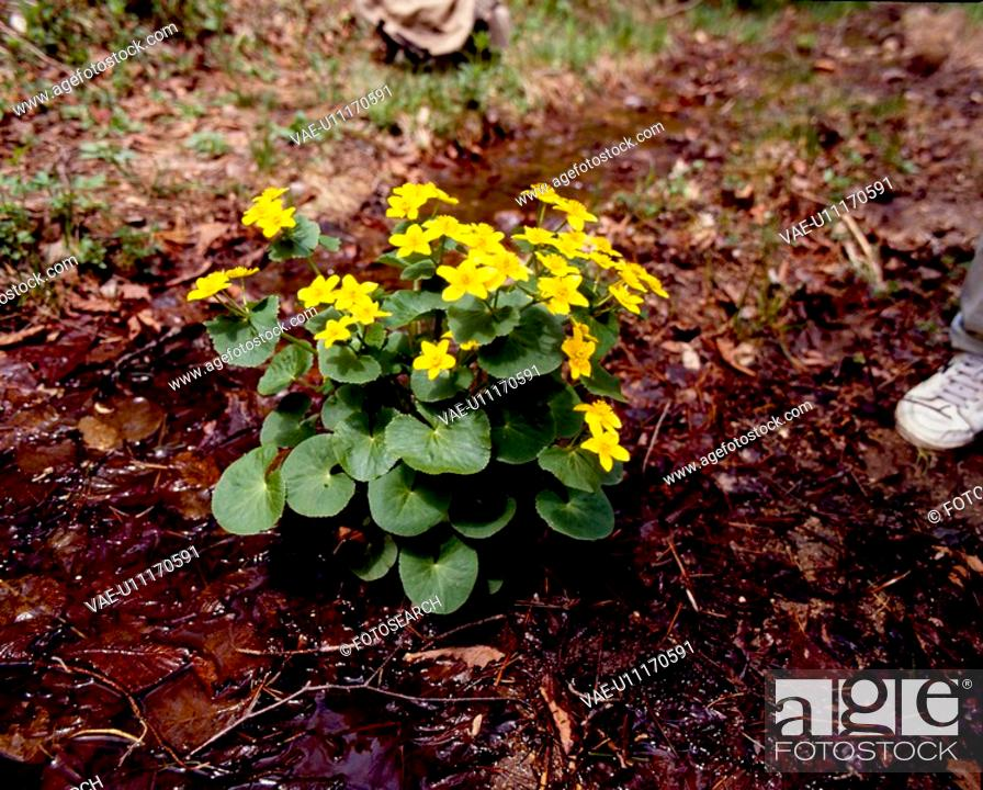 Stock Photo: flowers, nature, flower, closeup, scene, marsh marigold, landscape.