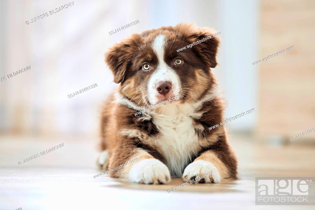 Photo de stock: Australian Shepherd. Puppy lying on wooden floor. Germany.