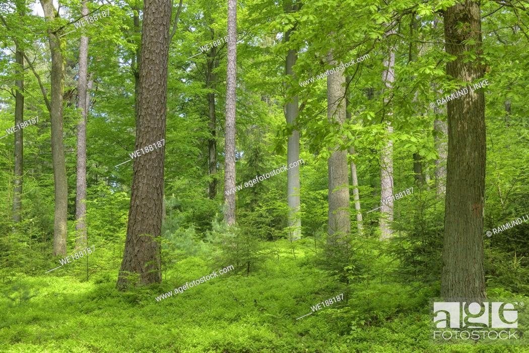 Photo de stock: Beech tree forest in spring, Spessart, Bavaria, Germany.