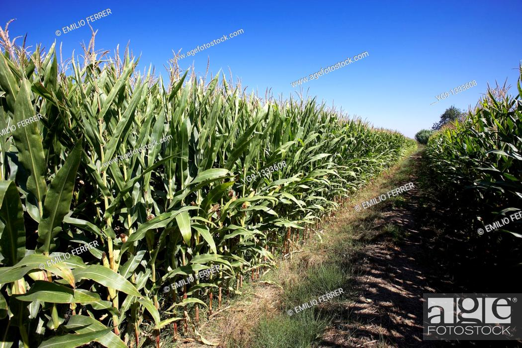 Stock Photo: Maize field  LLeida  Spain.