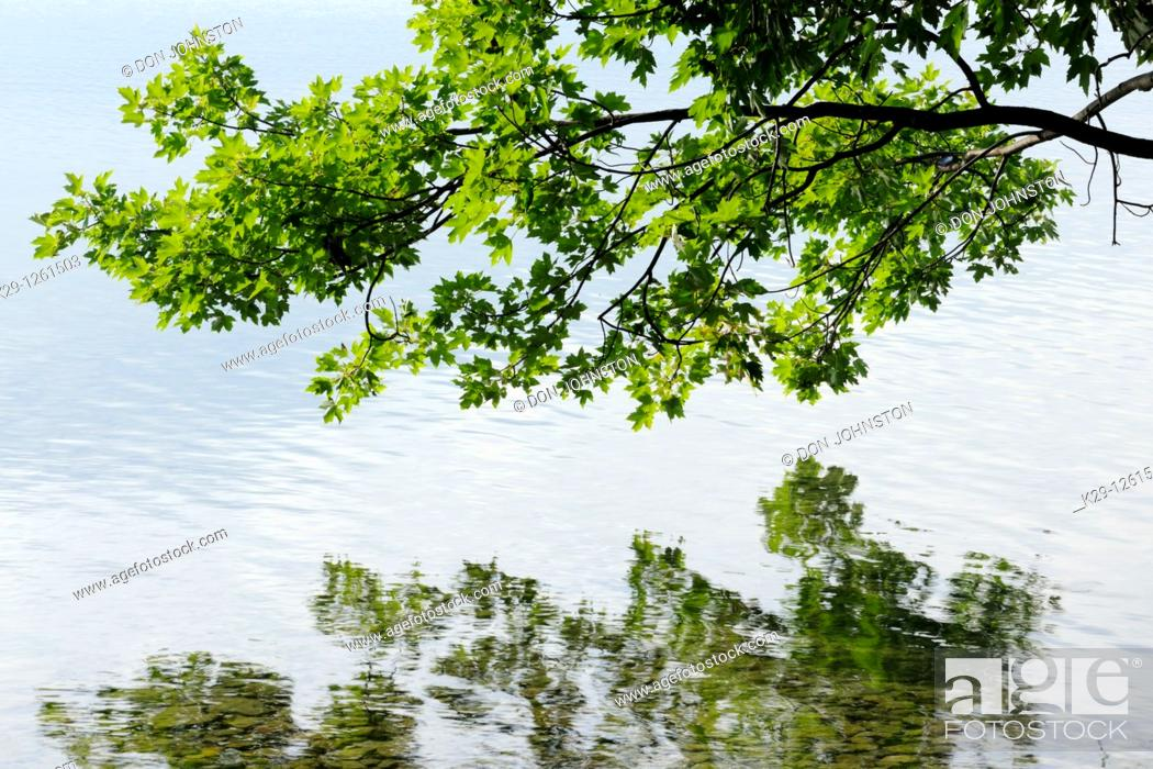 Stock Photo: Maple tree overhanging shoreline of Kagawong Lake.