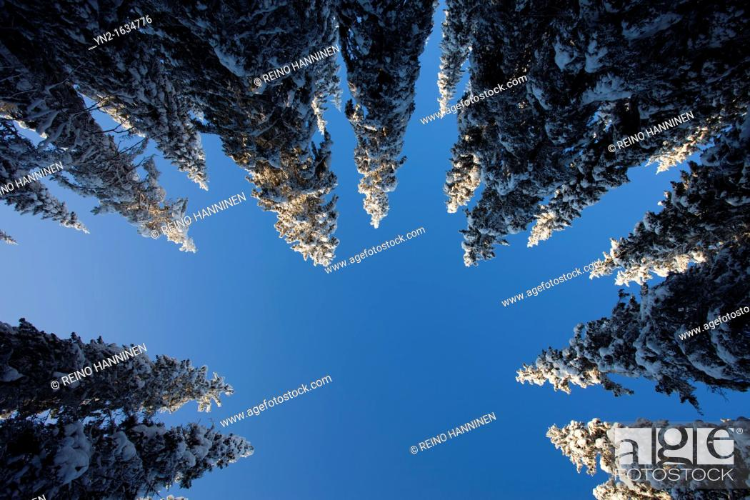 Stock Photo: Snowy spruce, picea abies, treetops at Winter  Location Suonenjoki Finland Scandinavia Europe EU.