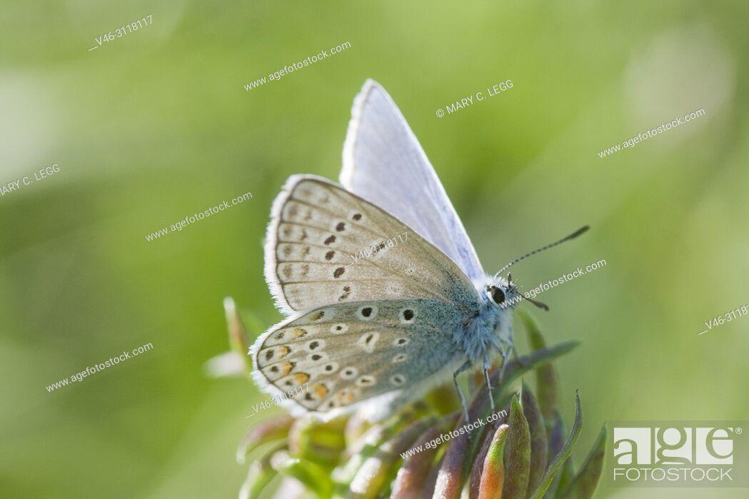 Stock Photo: Common Blue, Polyommatus icarus.