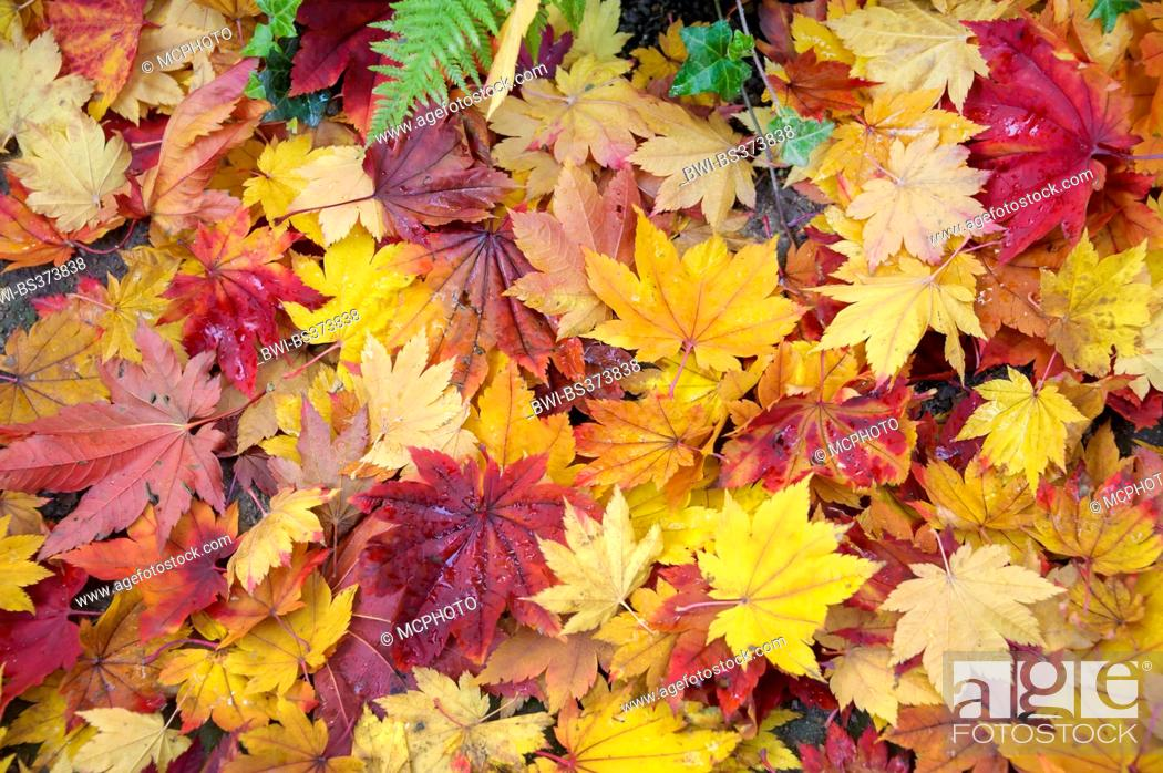Stock Photo: Japanese maple (Acer japonicum), autumn leaves on the ground.