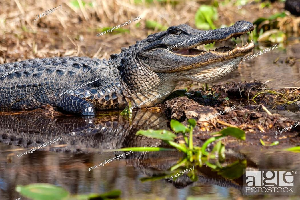 Stock Photo: An American alligator (Alligator mississippiensis) warming itself by sitting in the sun in a swamp.