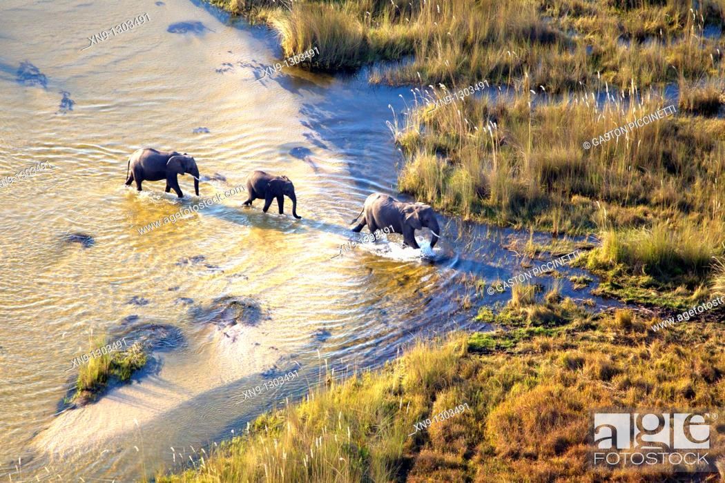 Stock Photo: African Elephants Loxodonta africana, crossing the river Aerial View of the Okavango Delta, Botswana.