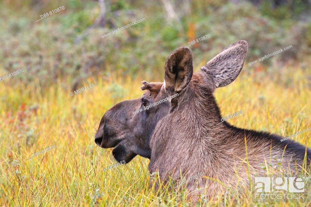 Stock Photo: Moose (Alces alces), 1 year old young. Seward Peninsula, Alaska, USA.