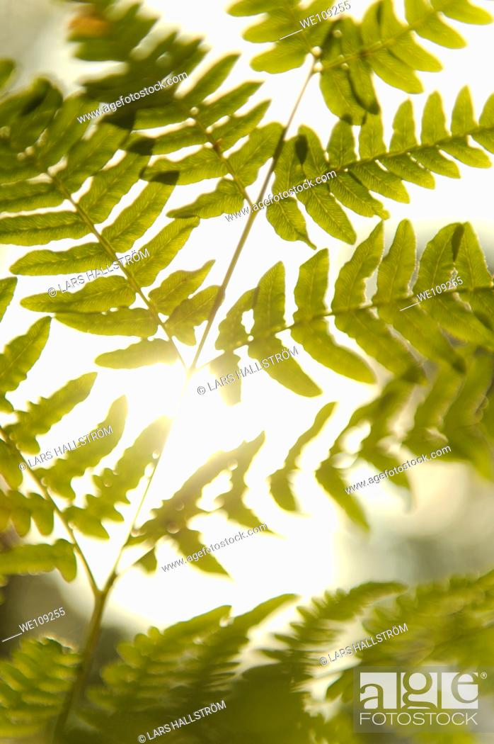 Stock Photo: Close-up of Fern Pteridophyta.