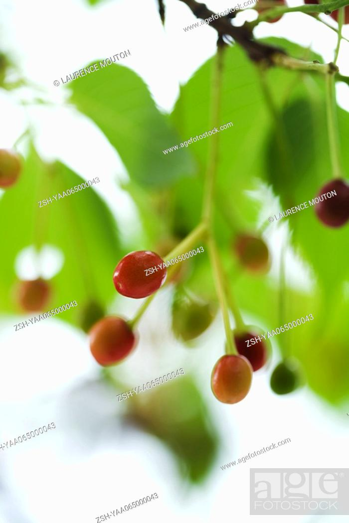 Stock Photo: Red berries growing on tree, close-up.
