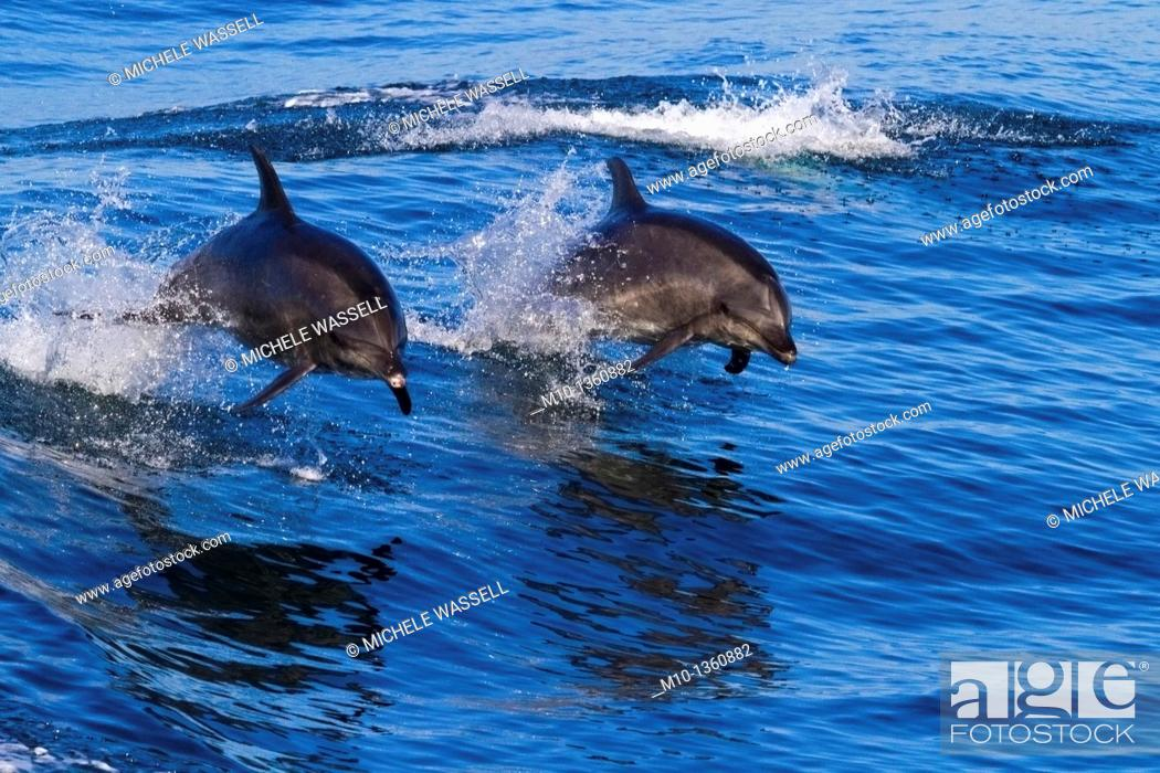 Stock Photo: Two Off-shore Bottlenose Dolphins leaping out of the water in sync.