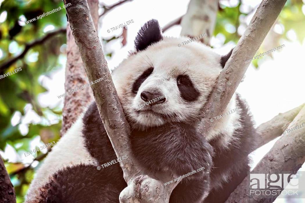 Stock Photo: Giant Panda sleeps on the tree brunch.