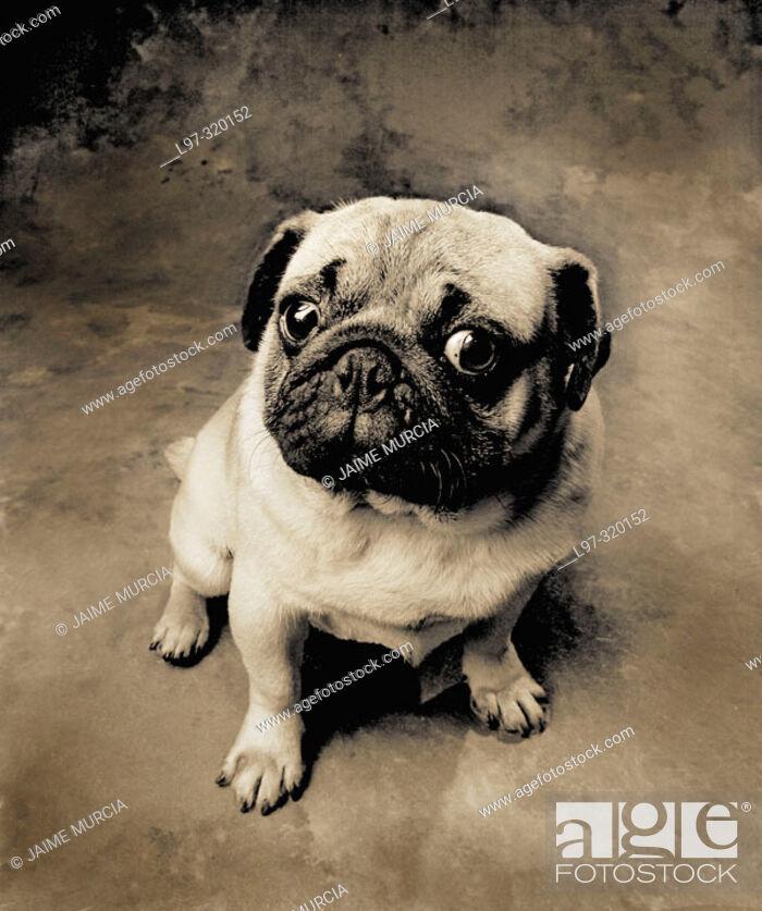 Stock Photo: Pug dog.