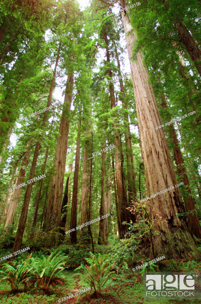 Stock Photo: Giant Redwoods. Stout Grove. Jedediah Smith Redwoods State Park. California. USA.