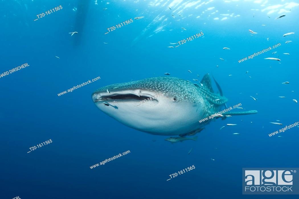 Stock Photo: Whale Shark, Rhincodon typus, Cenderawasih Bay, West Papua, Indonesia.