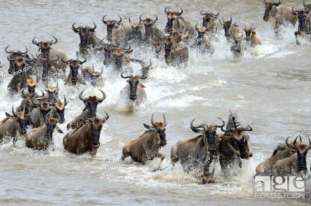 Stock Photo: Blue Wildebeest (Connochaetes taurinus) herd during crossing the Mara river, Serengeti national park, Tanzania.