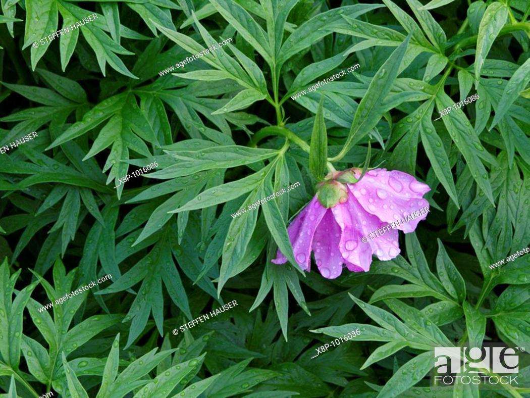Stock Photo: Peony Paeonia anomala.
