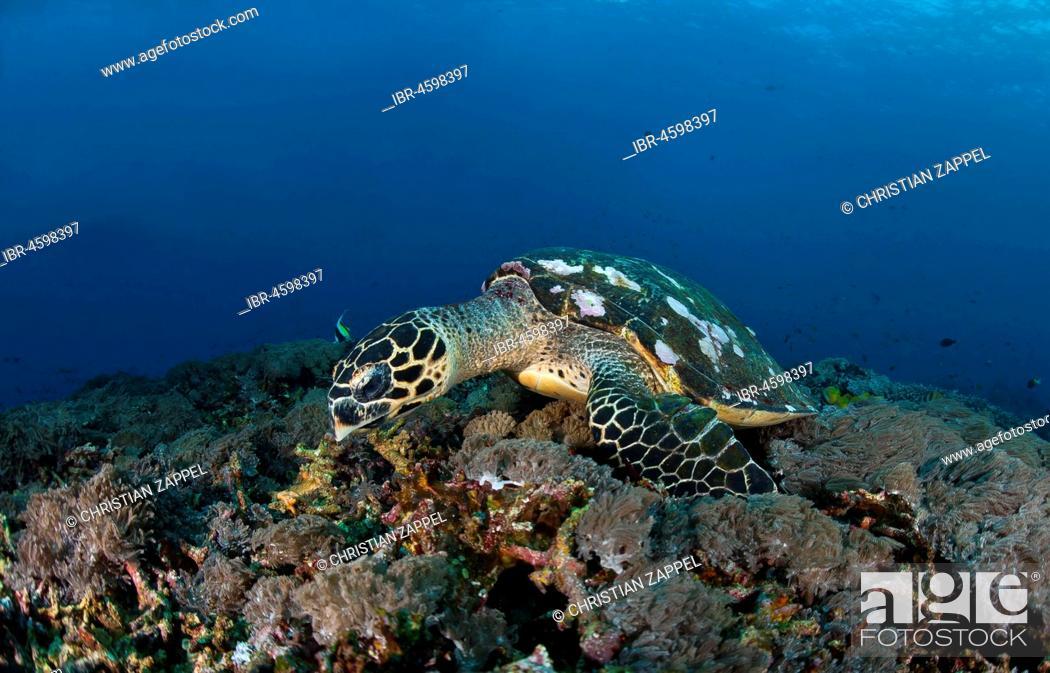 Stock Photo: Hawksbill sea turtle (Eretmochelys imbricata), on forage over coral reef, Nusa Penida, Nusa Lembongan, Bali, Indonesia.