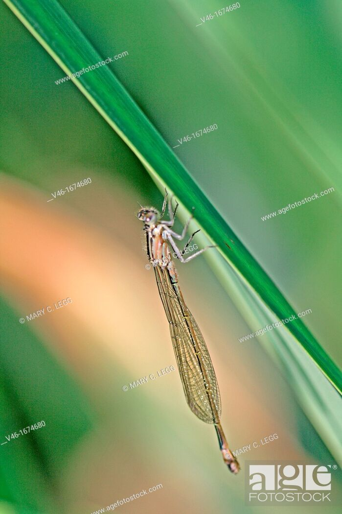 Stock Photo: Newly emerged Blue-tailed Damselfly, Ischnura elegans Male hangs on grass  Body is still changing color as it develops.