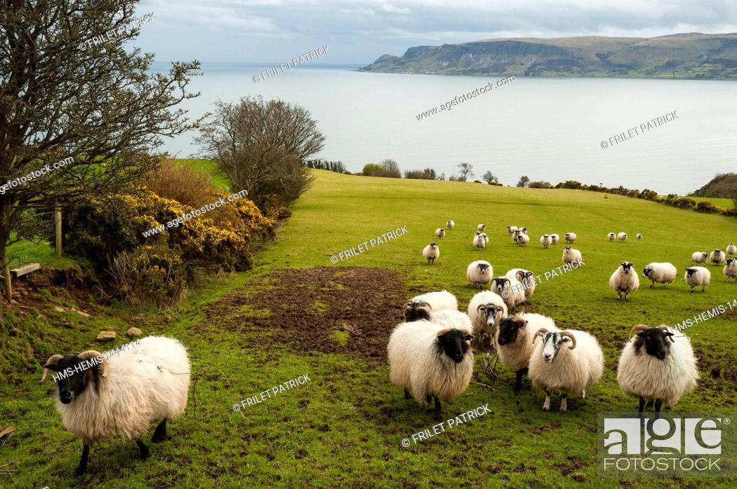 Stock Photo: United Kingdom, Northern Ireland, County Antrim, Cushendall, sheep.