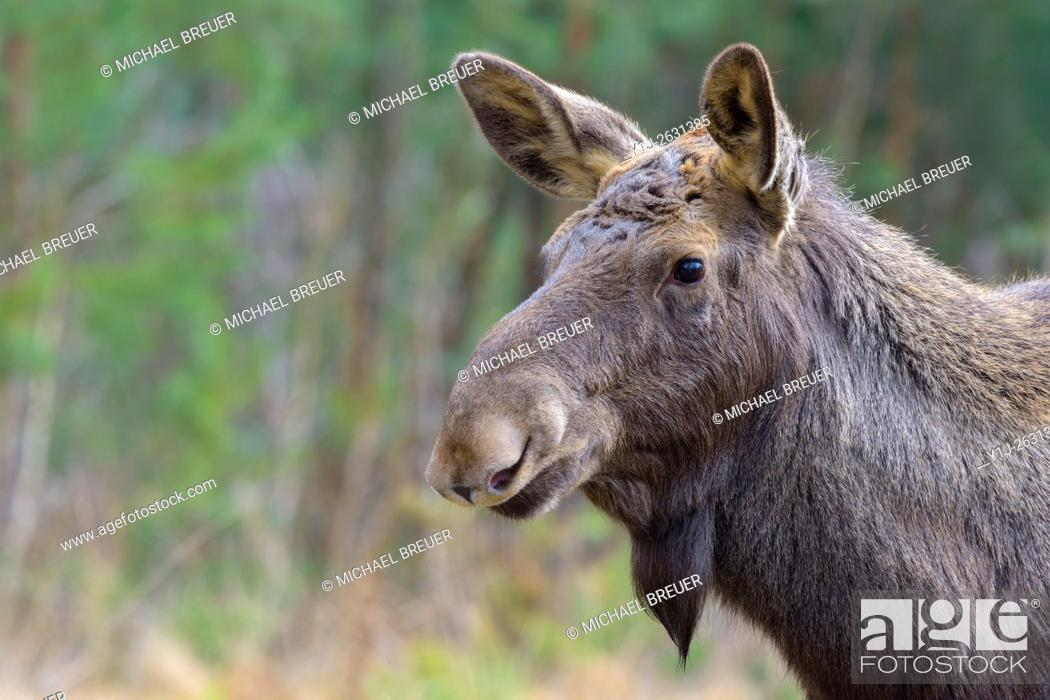 Stock Photo: Moose, Elk, Alces alces, Europe.