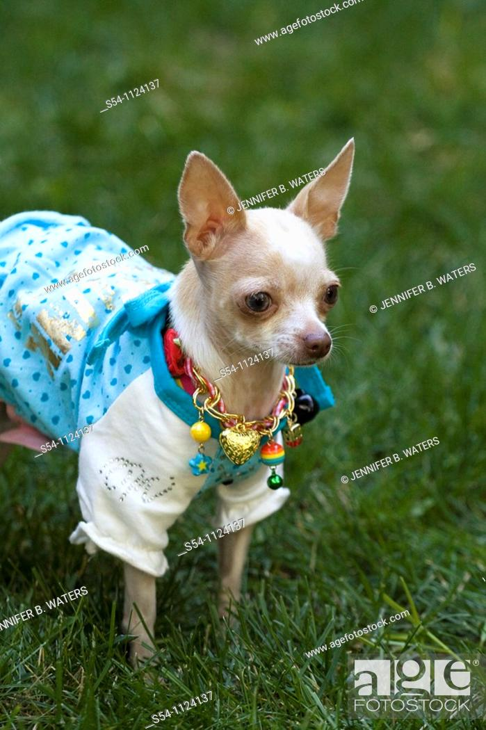 Stock Photo: A chihuahua wearing a necklace and a shirt stands in the grass outdoors.
