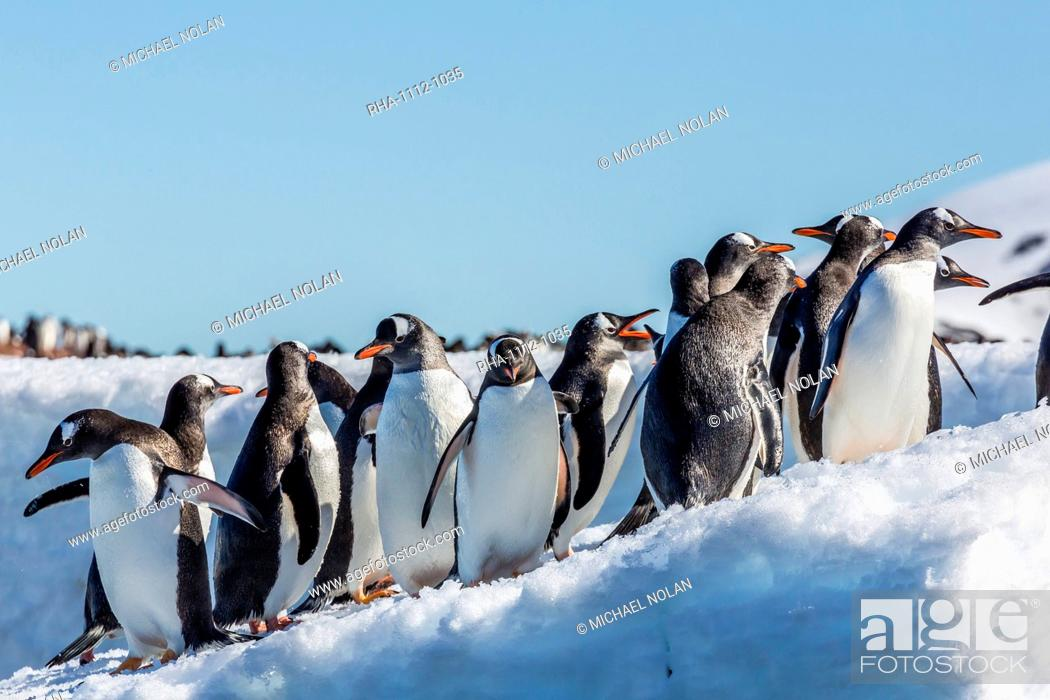 Imagen: Adult gentoo penguin (Pygoscelis papua) on ice in Mickelson Harbor, Antarctica, Southern Ocean, Polar Regions.