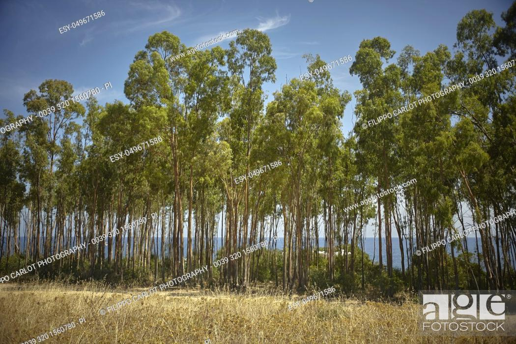 Stock Photo: Small poplar grove during the summer in the period of drought on the southern Mediterranean coast of Sardinia with the sea behind.