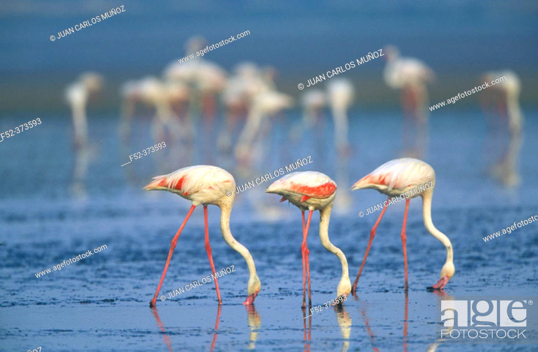 Stock Photo: Greater Flamingo (Phoenicopterus ruber).
