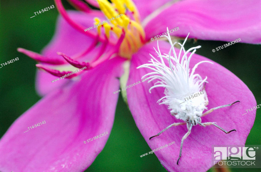 Stock Photo: This unusual white bug (Flatidae) is a local delicacy in Laos. This Flatidae Nymph climbs the petal of an Indian rhododendron (Melastoma malabathricum) flower.