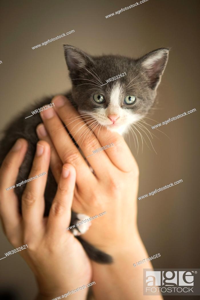 Stock Photo: A small grey and white kitten being held in a person's hands.