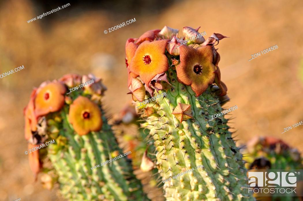 Stock Photo: Hoodia gordonii, Richtersveld, Südafrika / Hoodia gordonii, Richtersveld, South Africa.