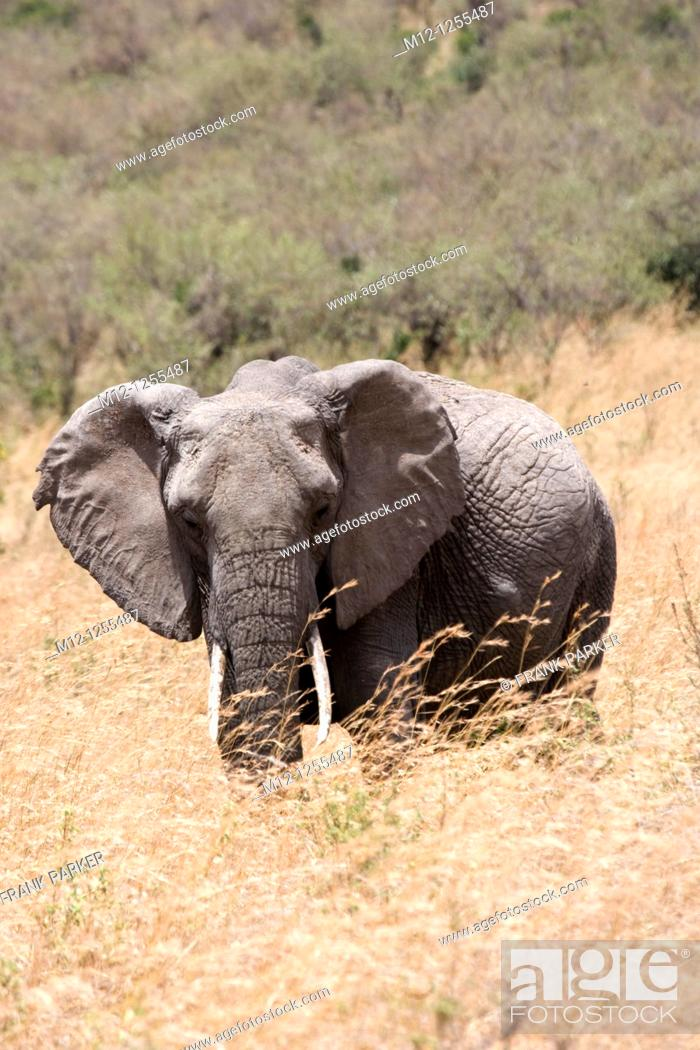 Stock Photo: Elephant feeds on the plains of the Masai Mara.