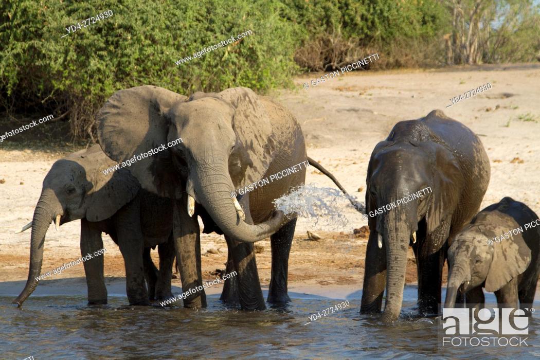 Imagen: African Elephant (Loxodonta africana), in the river, Chobe National Park, Botswana.