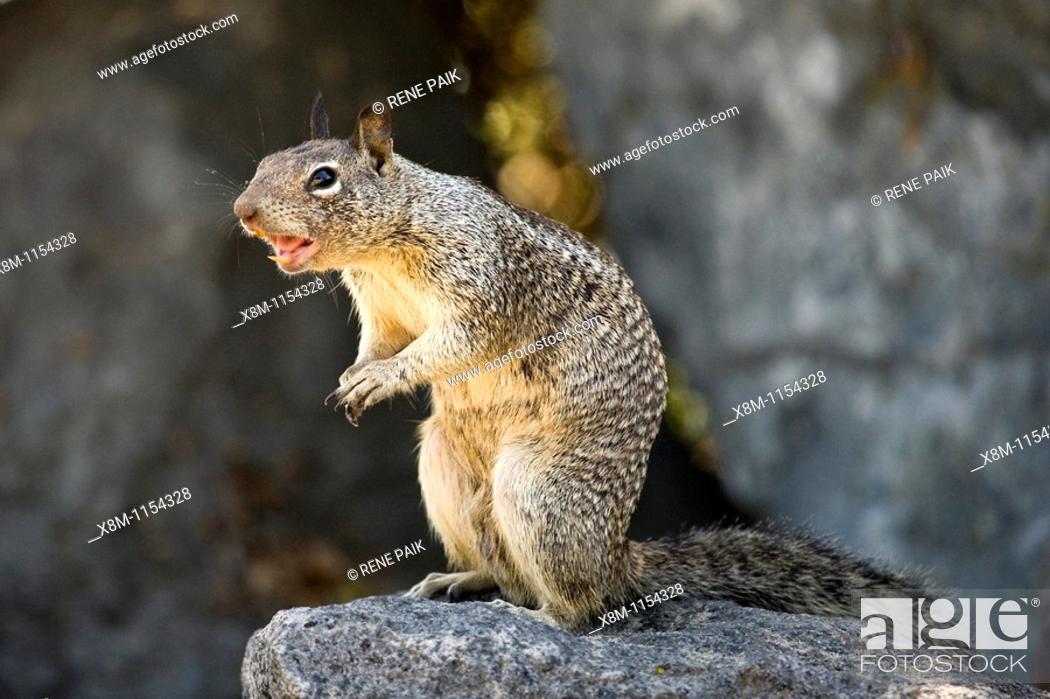 California Ground Squirrel (Spermophilus beecheyi) barking