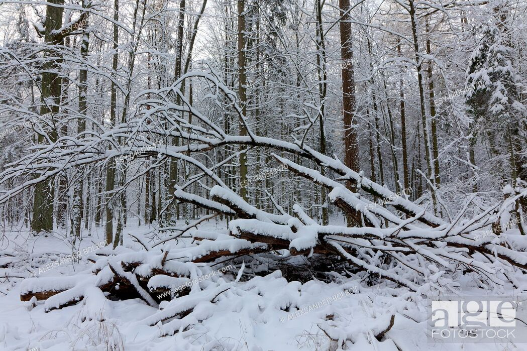 Imagen: Winter landscape of natural forest with dead oak tree trunk lying, Bialowieza Forest, Poland, Europe.