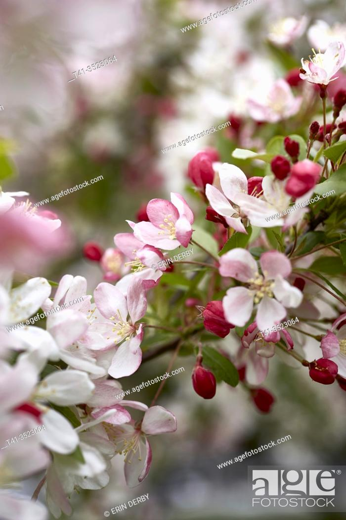 Stock Photo: A gorgeous detail of a freshly bloomed cherry blossom.