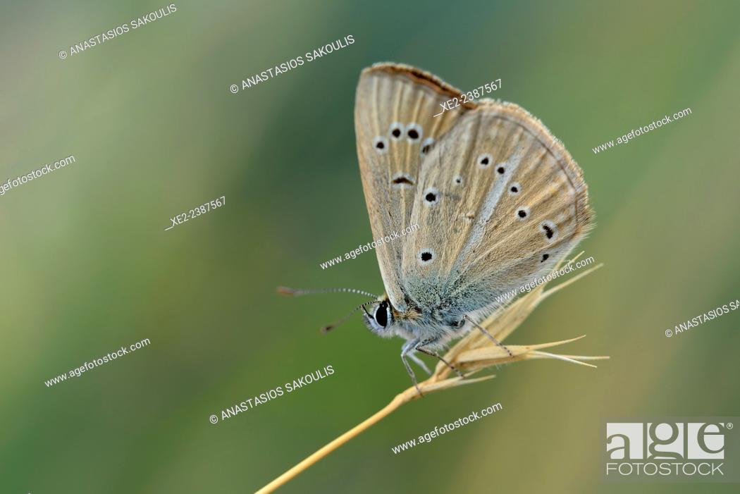 Stock Photo: Damon Blue - Polyommatus Agrodiaetus damon, Greece.