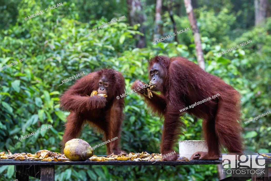 Stock Photo: Reintroduced adult orangutans, Pongo pygmaeus, Camp Leakey, Tanjung Puting National Park, Borneo, Indonesia.