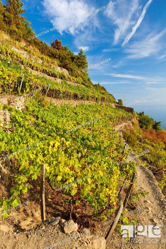 Imagen: Terraced vineyards, Volastra, Province of La Spezia, Liguria, Italy, Europe.