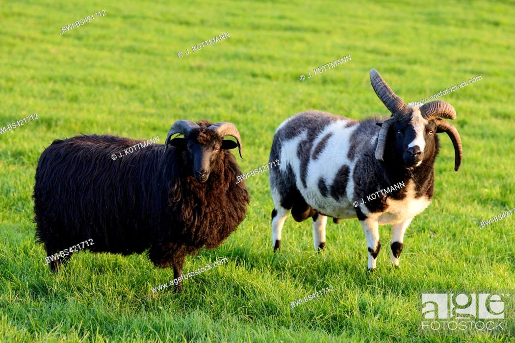 Stock Photo: Four-horn-sheep, Jacob sheep (Ovis ammon f. aries), two four-horn-sheep standing on a pasture, Germany.