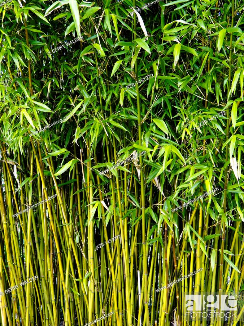 Stock Photo: Bamboo stems growing at John Hillier Gardens, Romsey, Hampshire, England.