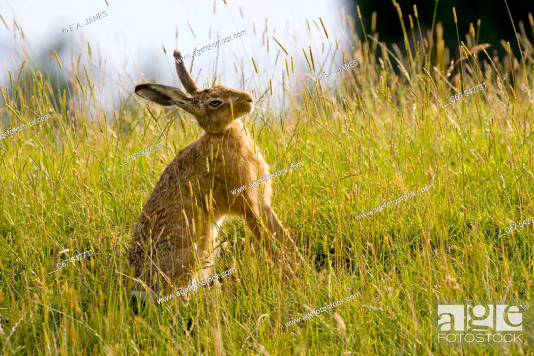 Stock Photo: Brown Hare Lepus europaeus Adult.