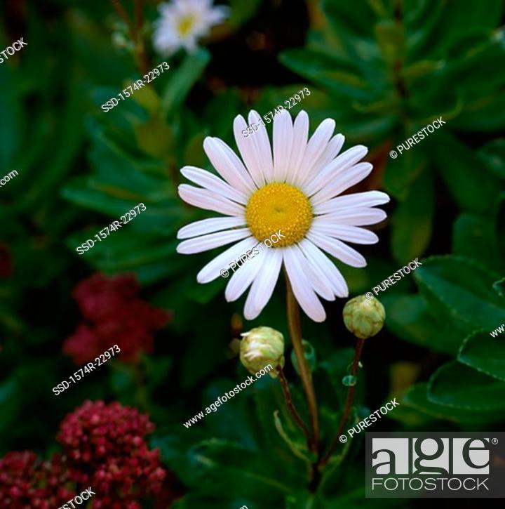 Stock Photo: Close-up of a daisy.