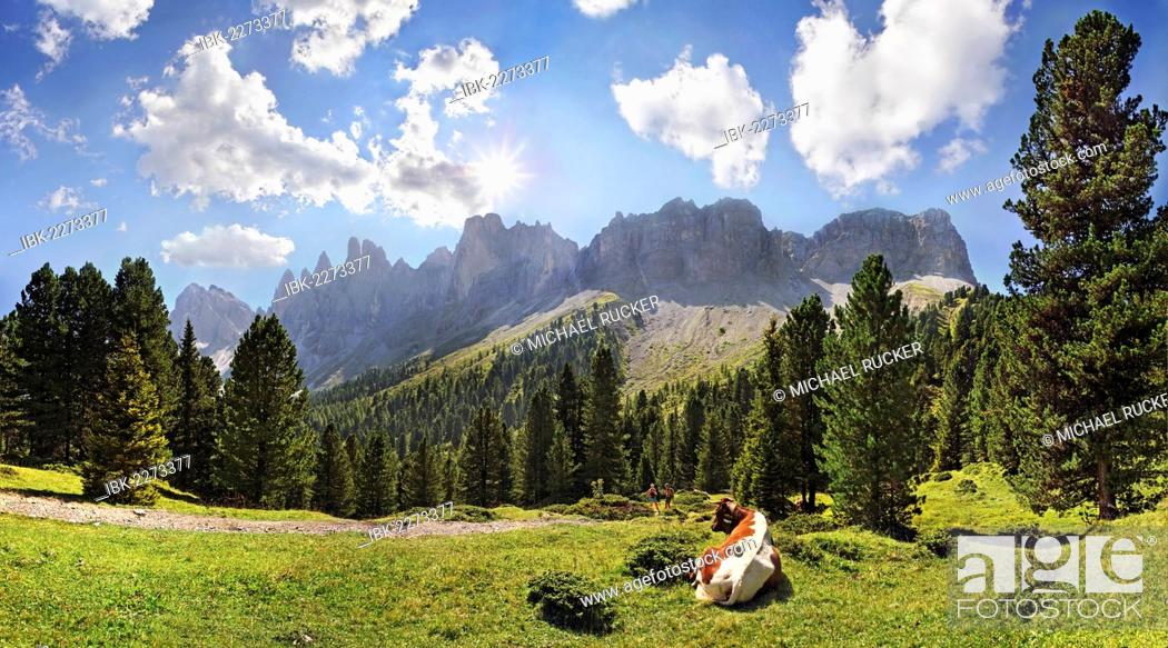 Stock Photo: Cow on a mountain pasture with a mountain forest, view of the Geisler Group, Villnoess Valley, Dolomites, South Tyrol, Italy, Europe.