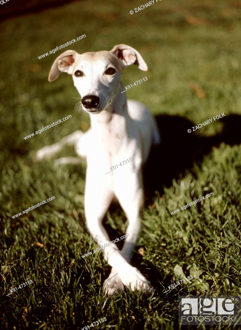 Stock Photo: Whippet on grass with front paws crossed.