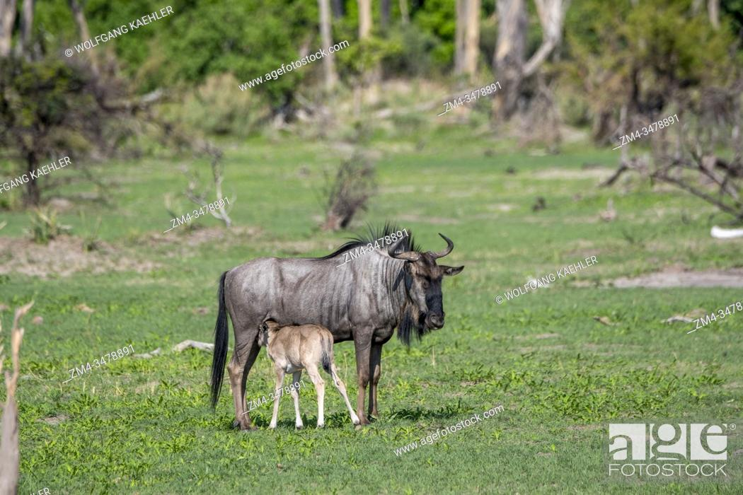 Stock Photo: A Wildebeest mother is nursing a newly born baby on the floodplains in the Gomoti Plains area, a community run concession.