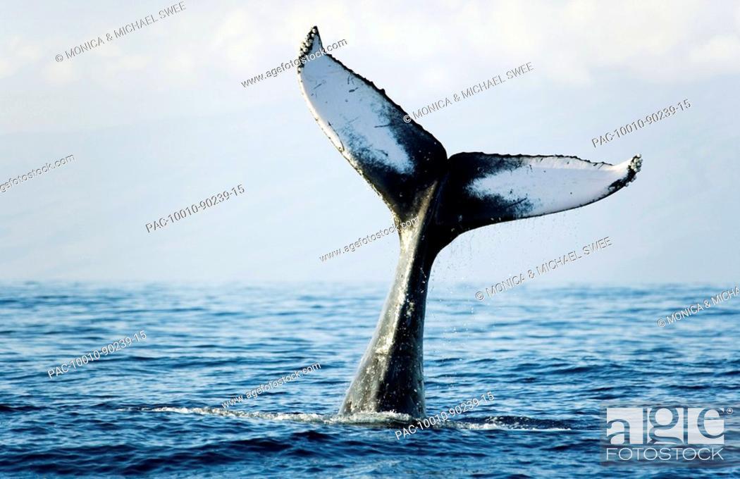 Imagen: Hawaii, Maui, Humpback Whale Megaptera novaeangliae tail fin.