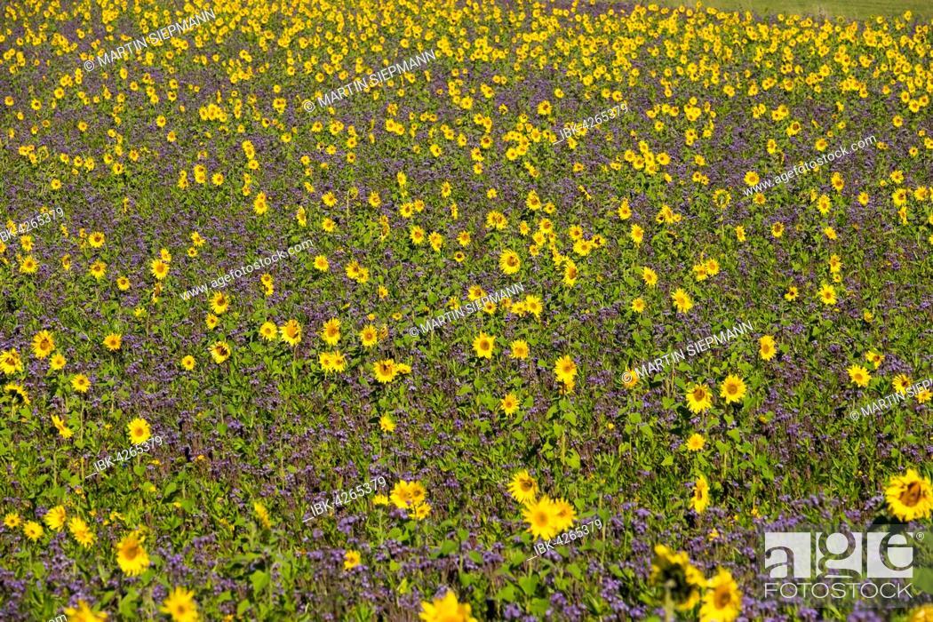 Stock Photo: Field of sunflowers (Helianthus) and lacy phacelia (Phacelia tanacetifolia), Palling, Rupertiwinkel, Upper Bavaria, Bavaria, Germany.